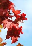 荚莲属的植物灌木分支 图库摄影