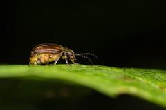 荚莲属的植物甲虫& x28; Pyrrhalta viburni& x29;怀孕女性 免版税图库摄影