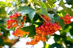 荚莲属的植物的分行接近的红色 免版税库存照片