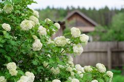 荚莲属的植物的开花的布什 免版税库存照片