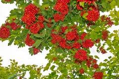 荚莲属的植物的枝杈。 库存图片