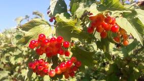 荚莲属的植物的红色莓果 免版税库存照片