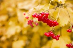 荚莲属的植物秋天 库存照片