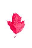 荚莲属的植物红色叶子在白色背景的 免版税库存图片