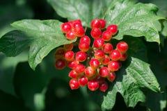 荚莲属的植物红色果子在分支的 免版税图库摄影