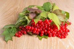 荚莲属的植物红色浆果 免版税库存图片