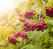 荚莲属的植物红色浆果 免版税库存照片