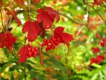荚莲属的植物红色莓果和叶子在秋天 库存照片