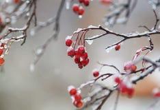 荚莲属的植物红色莓果在雨下落盖的庭院里和 免版税图库摄影
