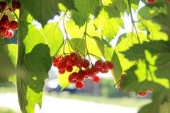 荚莲属的植物红色 免版税库存照片