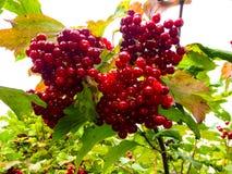 荚莲属的植物莓果在布什的分支的 库存图片