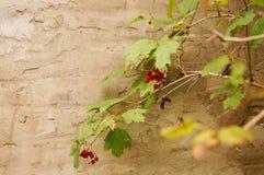 荚莲属的植物莓果在庭院里 库存照片