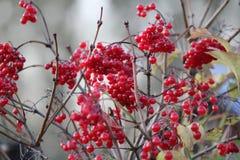荚莲属的植物莓果 库存图片