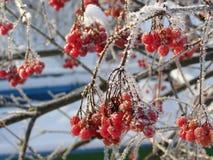 荚莲属的植物莓果 免版税库存图片