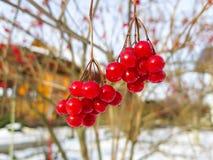 荚莲属的植物莓果 免版税库存照片