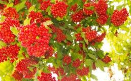 荚莲属的植物葡萄。 库存照片