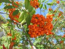 荚莲属的植物 免版税库存照片