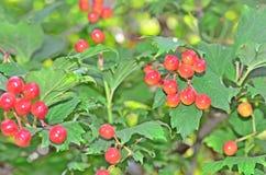 荚莲属的植物 库存照片