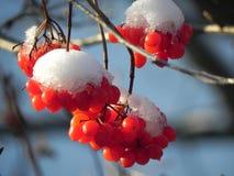 荚莲属的植物 图库摄影