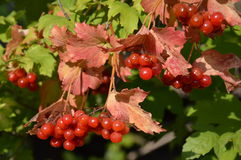 荚莲属的植物 库存图片