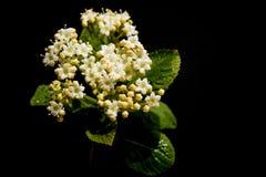 荚莲属的植物 免版税图库摄影