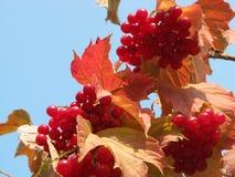 荚莲属的植物 免版税库存图片