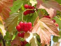 荚莲属的植物2 库存照片