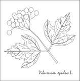 荚莲属的植物opulus、果子和叶子分支的黑白剪影  库存图片