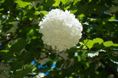 荚莲属的植物opulus唯一球状头状花序  库存照片