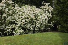 荚莲属的植物opulus开花 免版税图库摄影