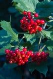 荚莲属的植物opulus植物莓果  免版税库存图片