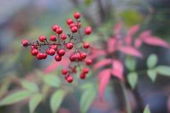 荚莲属的植物Opulus Compactum荷兰盾罗斯用红色莓果 库存照片