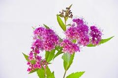 荚莲属的植物Tinus 库存照片