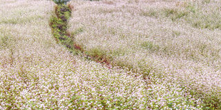 荞麦在小山的花田 图库摄影