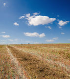 荞麦收集的收获 免版税库存照片