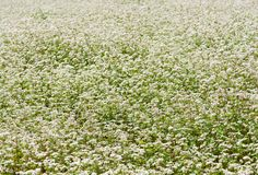 荞麦的领域 背景荞麦食物原始的状态素食主义者 荞麦的开花领域 立陶宛植物群 立陶宛风景 免版税库存图片