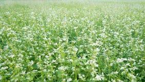 荞麦花田,绿色风景,领域 免版税库存图片