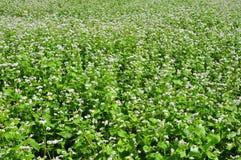 荞麦领域茂盛 免版税库存照片