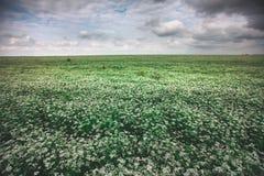 荞麦领域 免版税库存照片