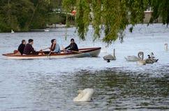 荡桨在泰晤士河的一条小船的人们在温莎,当疣鼻天鹅游泳时 库存照片