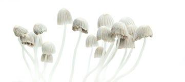 荧光的蘑菇Psilocybe mexicana 免版税图库摄影