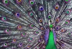 荧光1个的孔雀 免版税库存照片