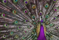 荧光1个的孔雀 免版税图库摄影