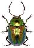 死荨麻在白色背景的叶子甲虫 免版税库存图片
