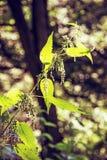 荨麻属dioica,经常称共同的荨麻或刺人的荨麻是 库存图片