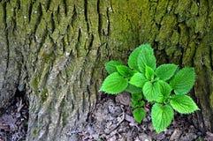 荨麻植物 库存图片