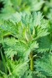 荨麻荨麻属自然野生植物,健康草本 免版税图库摄影