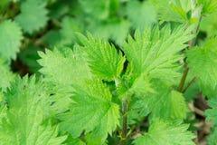 荨麻荨麻属自然野生植物,健康草本 免版税库存照片