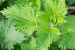 荨麻荨麻属自然医药绿色野生植物 免版税库存照片