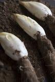 莴荬菜在土壤增长的/Chicory 免版税图库摄影